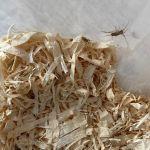 Cvrčci již povyrostli